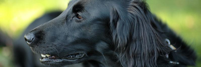 Epilepsie-hond