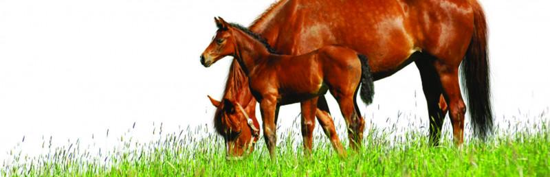 Vazuintjes-paard