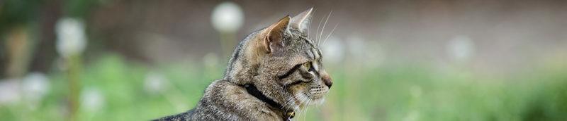 Haarbal-kat