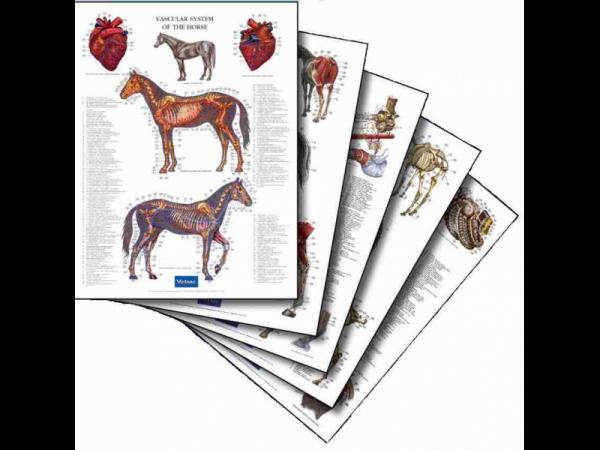 Anatomische Posterset Paard 5 stuks compleet